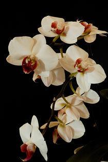 Orchid by Peter Steinhagen