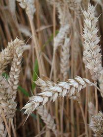 Getreide im Juni von Ka Wegner