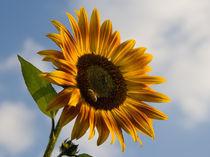 Sonnenblume von Michael S. Schwarzer