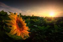 Sonnenblume by Michael S. Schwarzer
