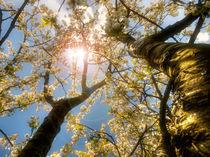 Frühlingssonne im Baum von Michael S. Schwarzer