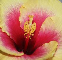 Hibiskusblüte von Ina Hartges
