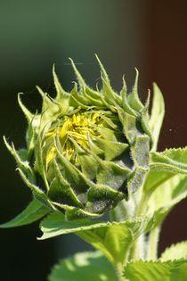 Sonnenblumenblüte von Ina Hartges