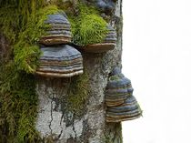 Baumpilze von Eva-Maria Oeser