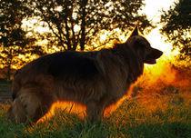 Langhaarschäferhund von Diana Wolfraum