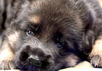 Schäferhundewelpe von Diana Wolfraum