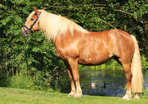 Haflinger by Diana Wolfraum