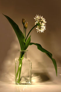 BÄRlauch  Allium ursinum von pichris