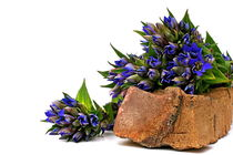 Blau, blau, blau blüht der Enzian by pichris