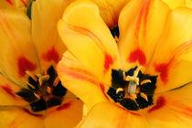 Herzliche Tulpengrüsse by pichris