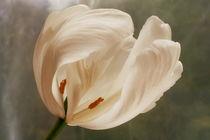 tulipa antiqua by pichris