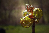 Kastanienknospe im Licht - Chestnut bud in the light von ropo13