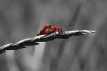 Rote Käferliebe - Red Beetle love by ropo13