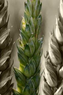 Weizen - wheat von ropo13