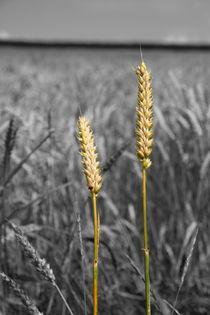 Weizenähren - wheat ears von ropo13