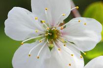 Kirschblüte - Cherry Blossom von ropo13