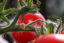 Tomatenstrauch - tomato bush by ropo13