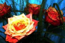 Rosen IX von Ria den Breejen