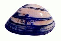 Blaue Muschel von Wildis Streng