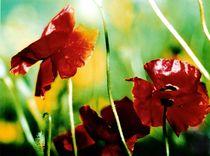 Mohnblüten auf der Wiese von Wildis Streng