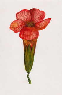 rote Blüte Aquarell by Wildis Streng