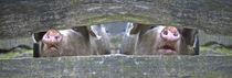 Schweine blicken durch by pahit