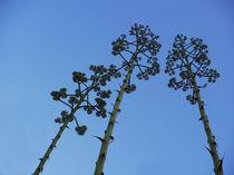 Drei Blüten von pahit