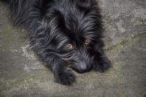 Hund, black dog  von pahit