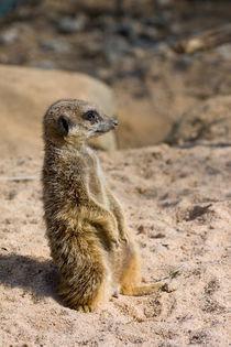 Suricate by safaribears