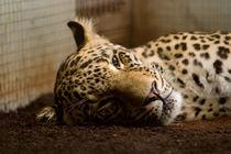 Leopard von safaribears