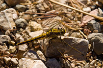 Large Dragonfly von safaribears