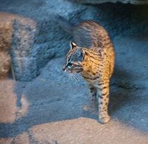 Restless Geoffroy's Cat von safaribears