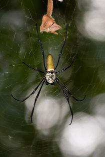 Silk Spider von safaribears