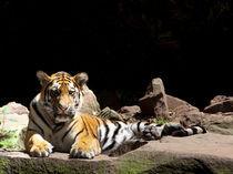 Der Tiger von safaribears