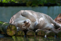 Puma spielt Miezekatze von safaribears