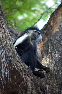 Colobus-Affe von safaribears