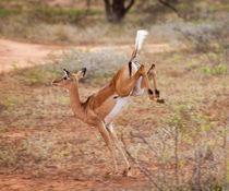 Impala auf der Flucht by safaribears