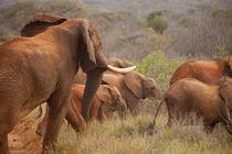 Elephants! von safaribears