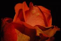 orange rose by Ulrike Linn