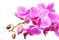 2011-01-12-16-14-43dsc-4764-orchid-soft-sig