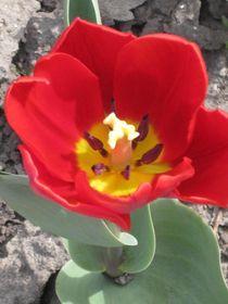 In voller Blüte von Anne Rösner-Langener
