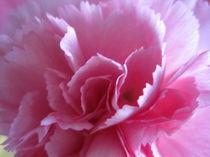 Großaufnahme einer aufgeblühten rosafarbenen Nelke von Anne Rösner-Langener