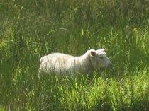 Irisches Schaf im Oktober by Anne Rösner-Langener