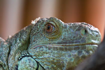 A iguana sees red by Carinne Gamas