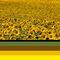 Sunflower-colours
