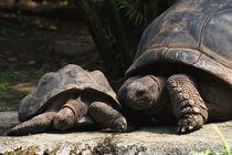 Aldabra-Riesenschildkröte by photofreak