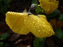 Stiefmütterchen im Eiswasser -Viola calaminaria von regenbogenfloh