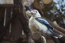 Kookaburra von Ina Hartges