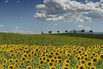 Sonnenblumenzeit im Valdichiana by Helmut Plamper