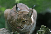 Luchs by Wolfgang Dufner